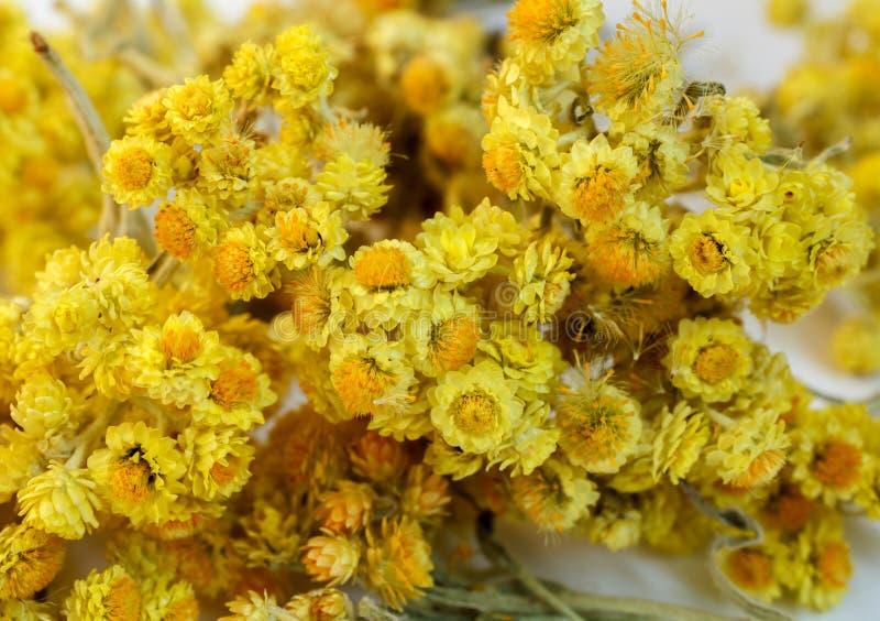 Flores secadas do helichrysum imagens de stock