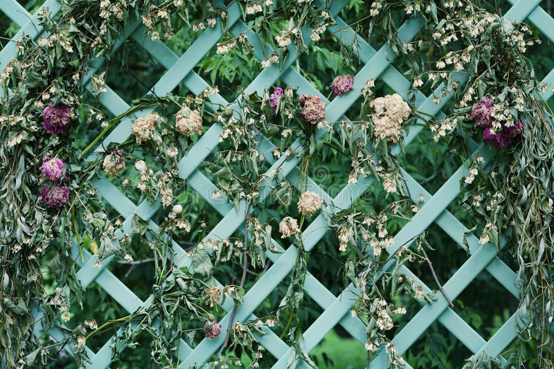 Flores secadas en enrejado decorativo en el jardín imagen de archivo libre de regalías