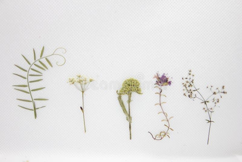 Flores secadas fijadas en el fondo blanco foto de archivo libre de regalías