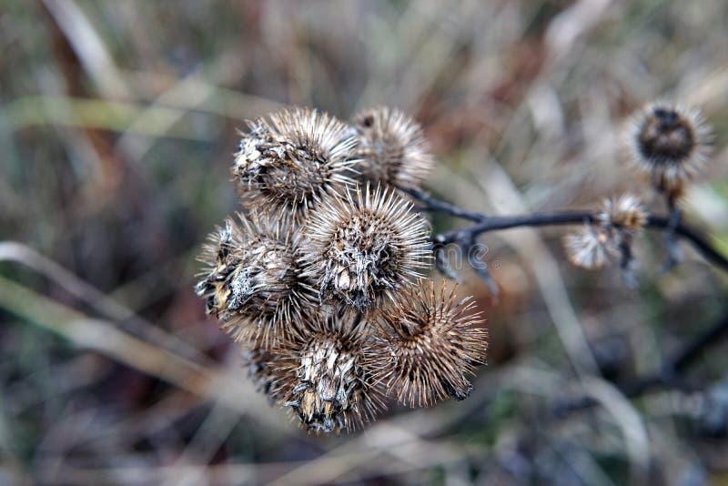Flores secas da bardana no fim atrasado do outono acima imagens de stock