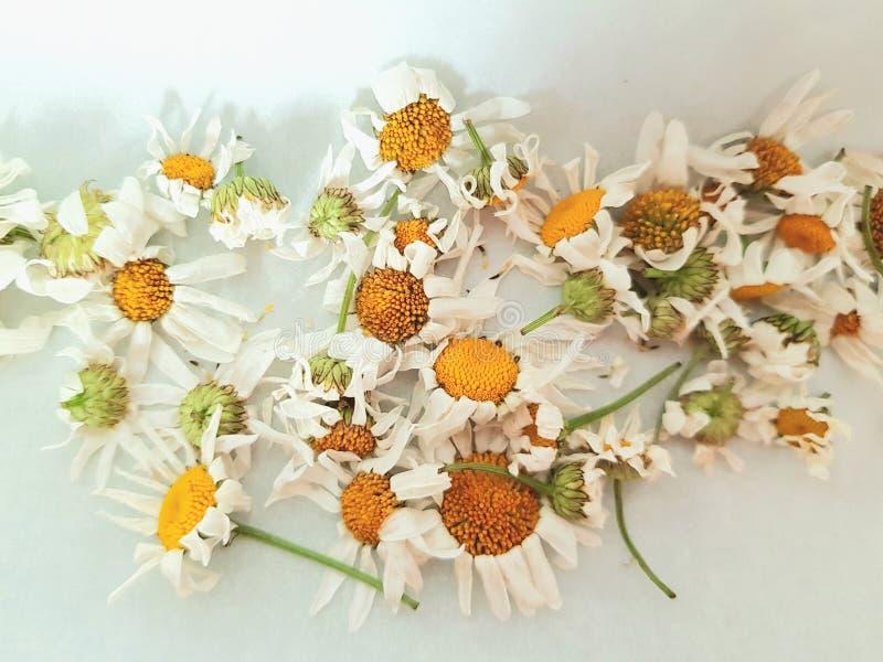 Flores secas de la manzanilla para el té Té sano orgánico fotografía de archivo