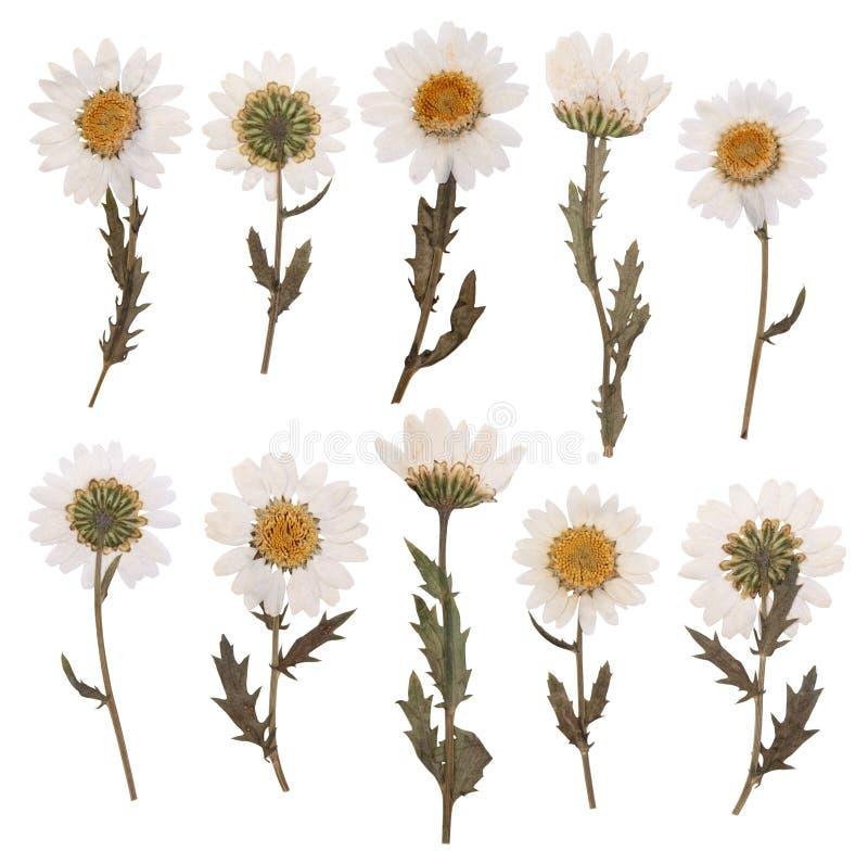 Flores secas de la margarita foto de archivo
