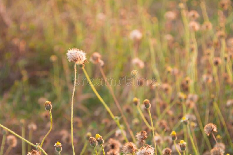 flores secas no campo na luz do por do sol fotografia de stock