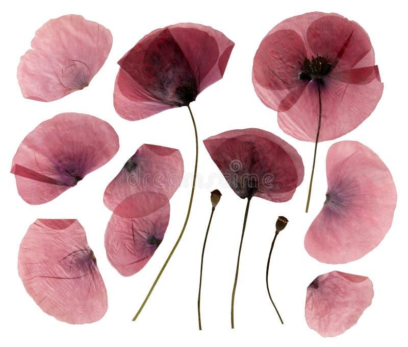 Flores secas, presionadas de la amapola fotografía de archivo libre de regalías