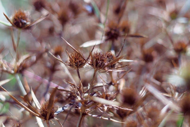 Flores secos de una azul-cabeza en el campo El color anaranjado intenso de la inflorescencia indica la madurez de las semillas ci imagenes de archivo