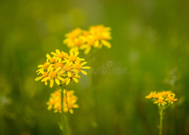 Flores selvagens foto de stock royalty free