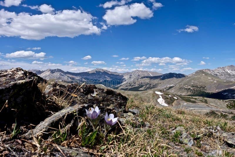 Flores selvagens alpinas em Rocky Mountains imagem de stock