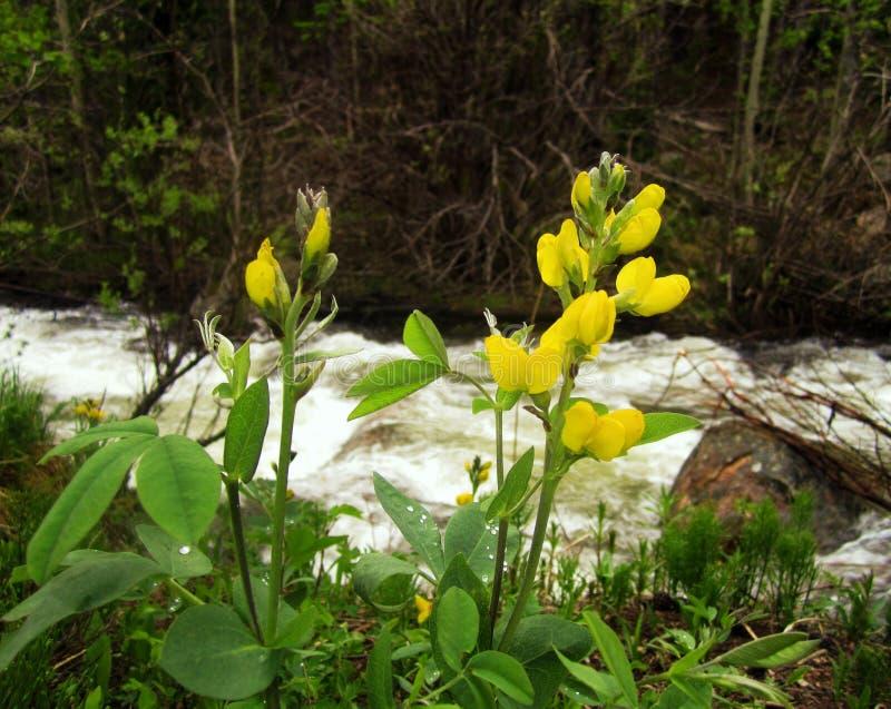 Flores selvagens amarelas no Arapaho Forest With Falls River In nacional o fundo foto de stock royalty free