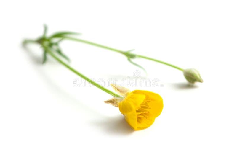 flores selvagens amarelas no fundo branco - repens do ranúnculo imagem de stock