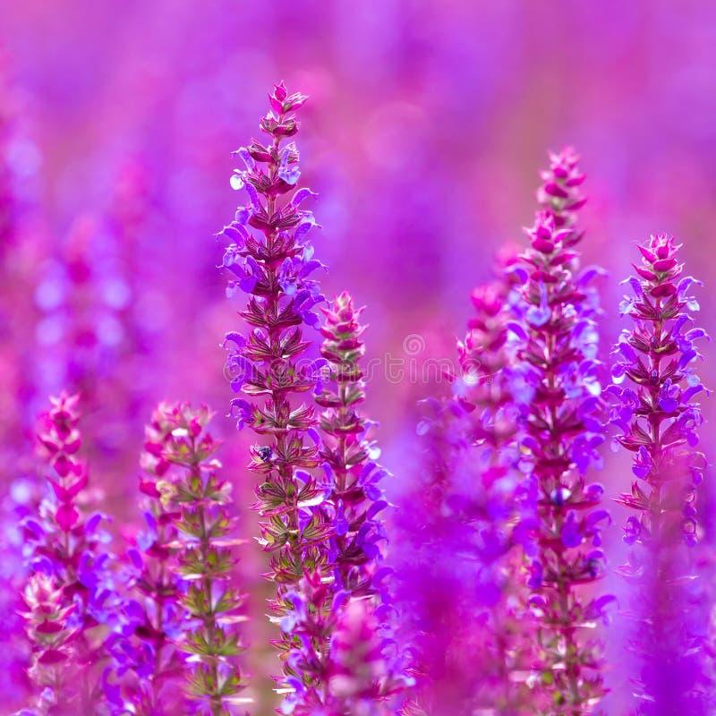 Flores selvagens bonitas dos tremoceiros fotografia de stock royalty free