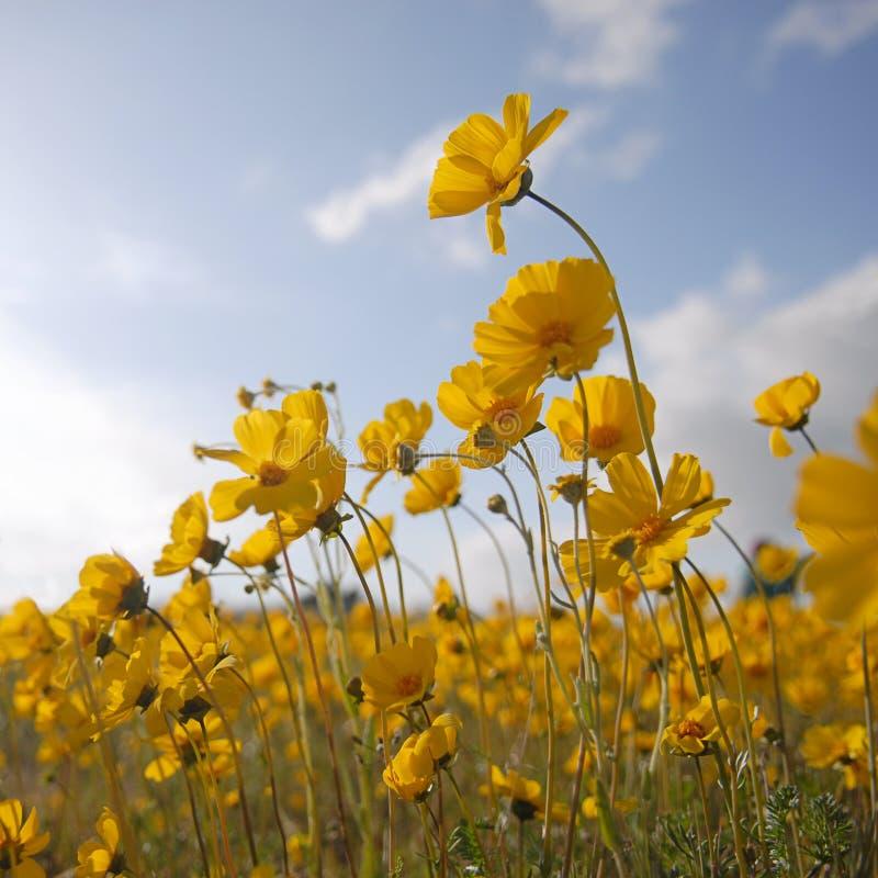 Flores selvagens bonitas: Quadrado amarelo imagens de stock royalty free