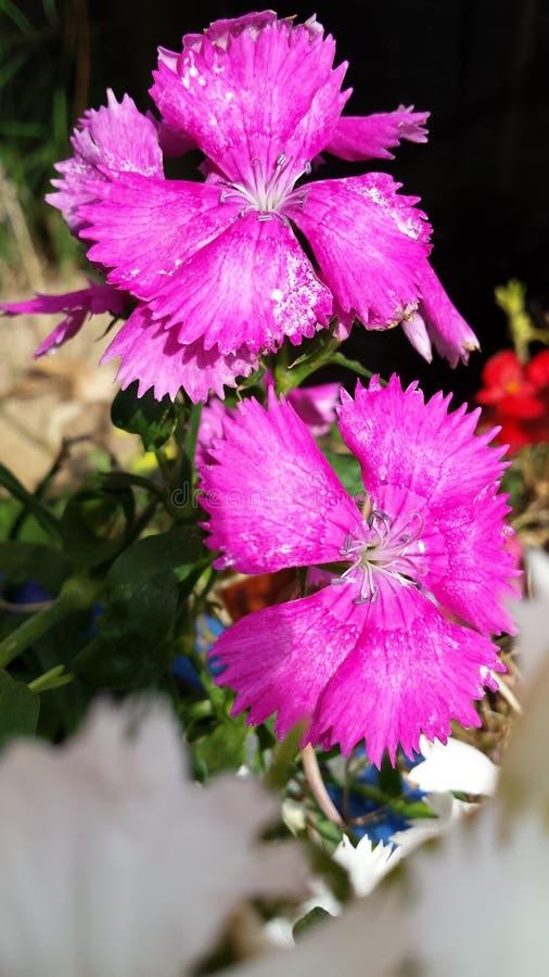 Flores selvagens bonitas roxas/rosa fotografia de stock royalty free