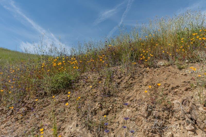 Flores selvagens bonitas - uma parte dos fenômenos do superbloom na cordilheira de Walker Canyon perto do lago Elsinore, Calif do fotografia de stock