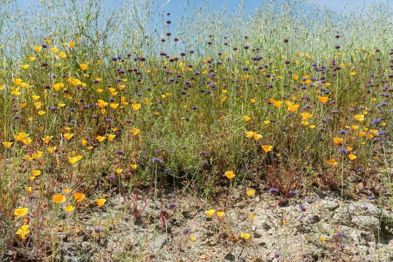 Flores selvagens bonitas - uma parte dos fenômenos do superbloom na cordilheira de Walker Canyon perto do lago Elsinore, Calif do fotografia de stock royalty free