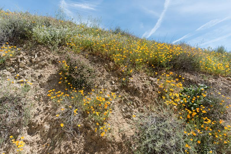 Flores selvagens bonitas - uma parte dos fen?menos do superbloom na cordilheira de Walker Canyon perto do lago Elsinore imagens de stock royalty free