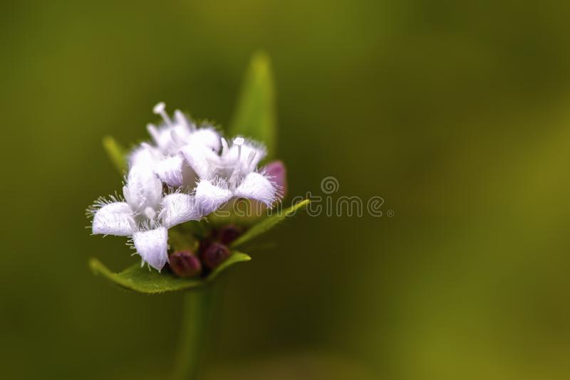 Flores selvagens brancas da planta bogbean imagens de stock