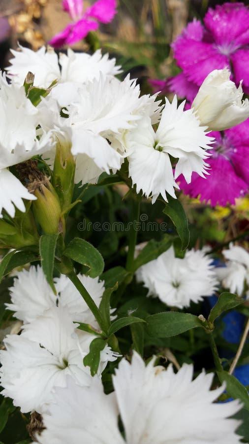 Flores selvagens cor-de-rosa e brancas bonitas imagem de stock royalty free