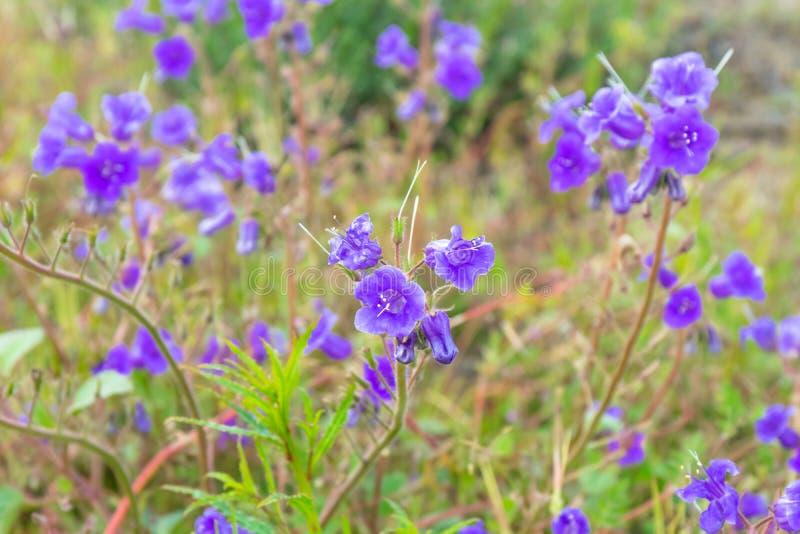 Flores selvagens da campainha que florescem em Califórnia imagens de stock royalty free