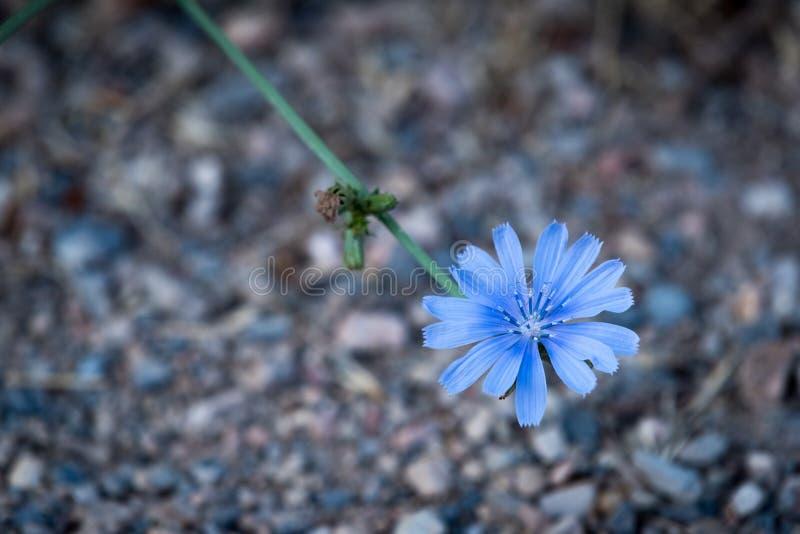 Flores selvagens da chicória sobre o cascalho fotografia de stock royalty free
