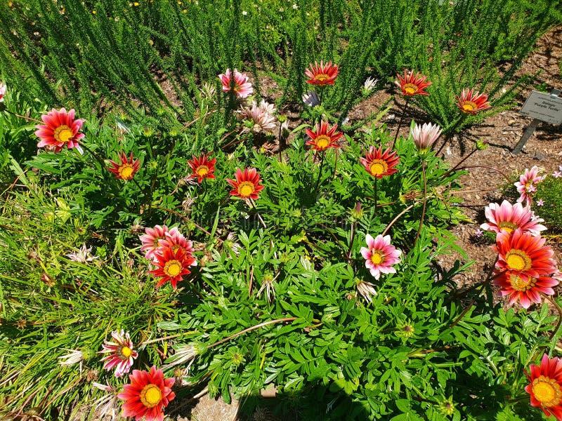Flores selvagens da Gazânia fotografadas em Kirstenbosch, Cidade do Cabo fotos de stock royalty free
