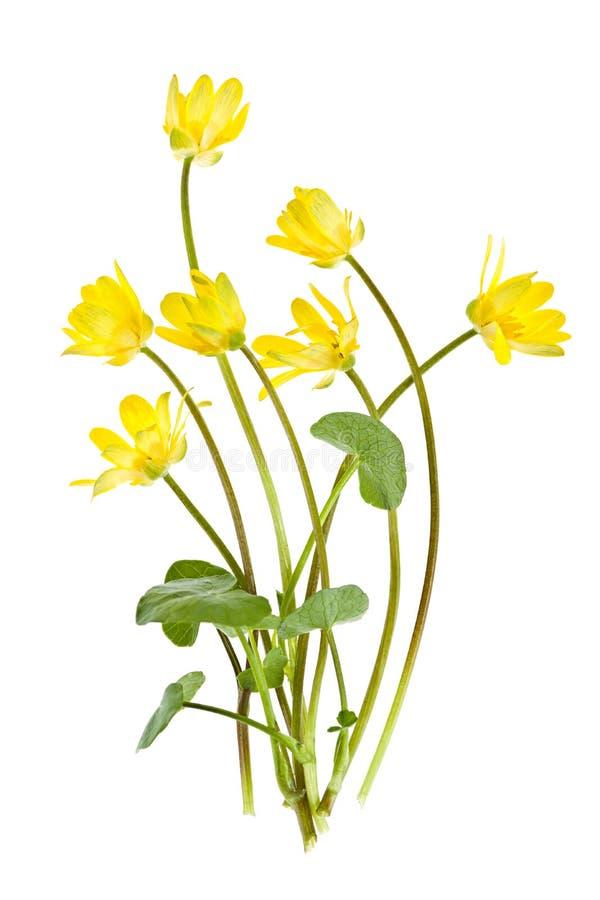 Flores selvagens da mola amarela imagem de stock royalty free