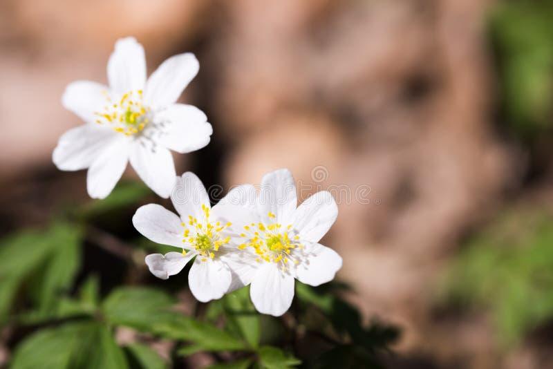 Flores selvagens da mola, anêmona de madeira, windflower, nemorosa da anêmona imagem de stock