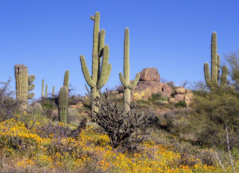 Flores selvagens da mola ao longo da fuga de caminhada do deserto em Scottsdale, o Arizona fotografia de stock
