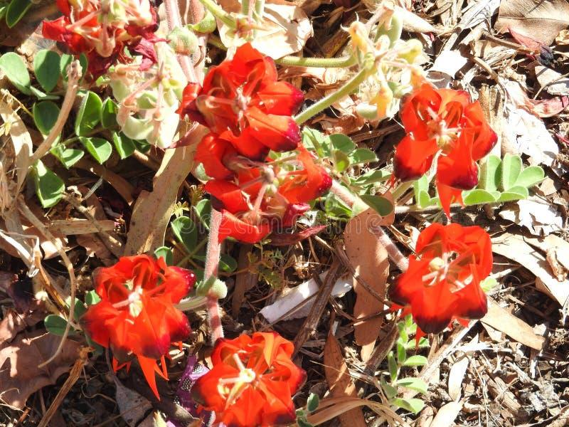 Flores selvagens da mola do ` s da Austrália Ocidental na flor completa imagens de stock royalty free