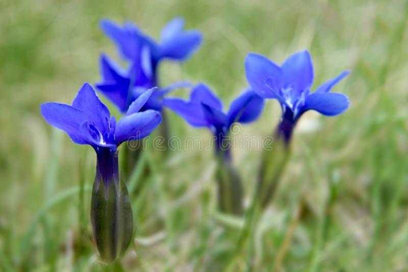 Flores selvagens da montanha imagem de stock royalty free