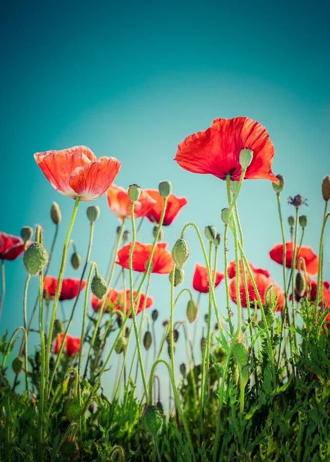 Flores selvagens da papoila no prado do verão Fundo floral fotografia de stock