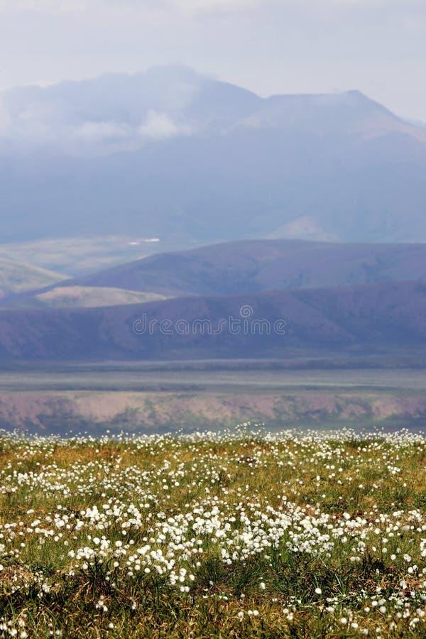 Flores selvagens da tundra fotografia de stock