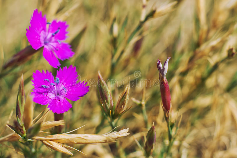Flores selvagens das violetas da mola. foto de stock royalty free