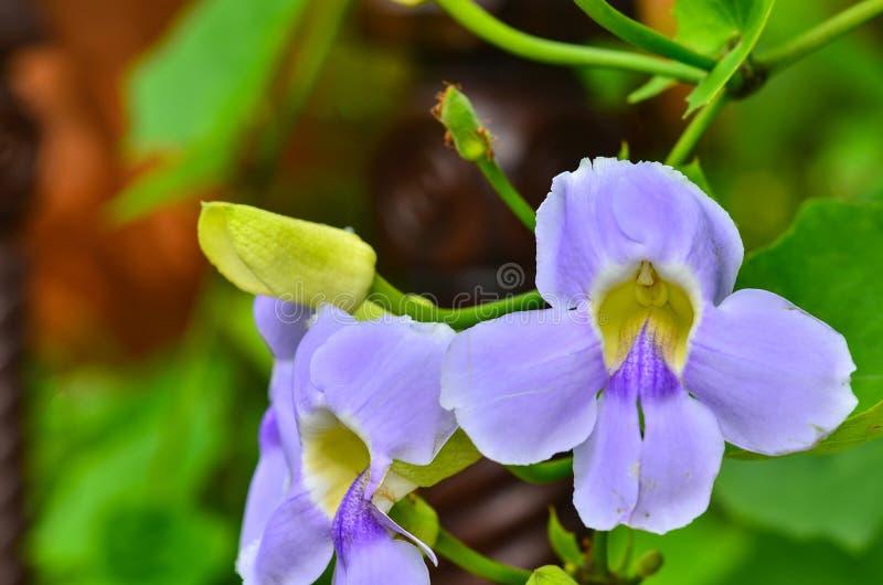 Flores selvagens das violetas da mola fotos de stock royalty free