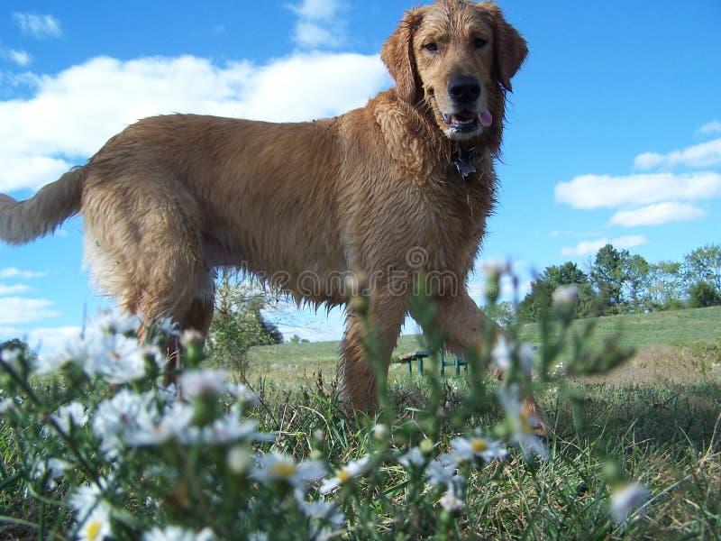 Flores selvagens do amoungst do Retriever dourado fotos de stock royalty free