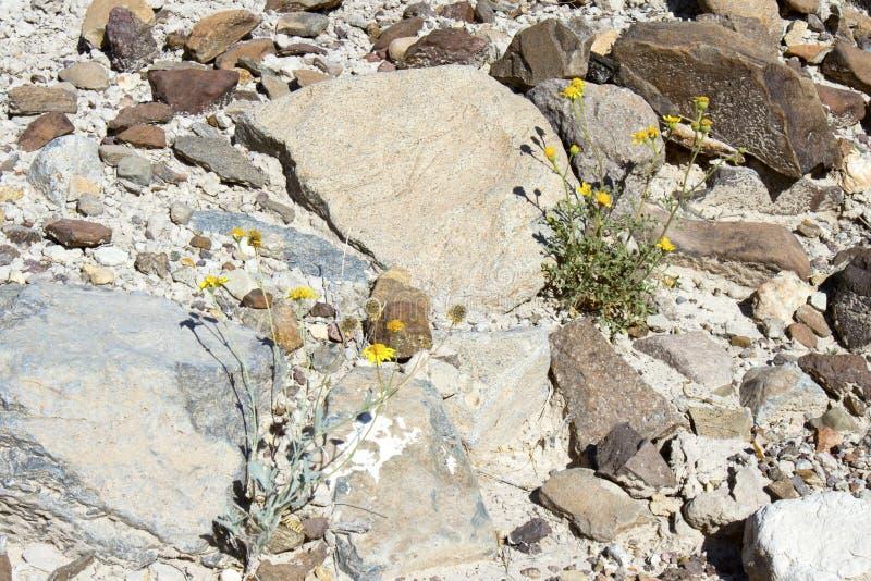 Flores selvagens do deserto imagens de stock royalty free