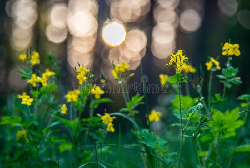 Flores selvagens do majus do Chelidonium fotografia de stock royalty free