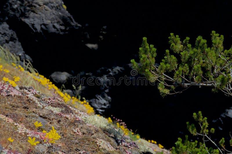 Flores selvagens em um penhasco com um pinheiro, contra sombras escuras imagens de stock