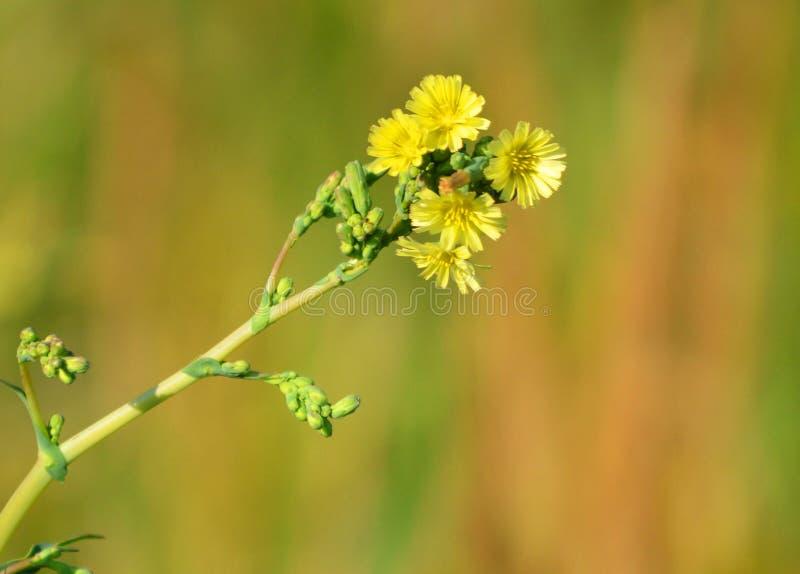 Flores selvagens lindos Flores amarelas imagens de stock