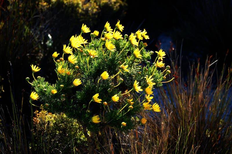 Flores selvagens na montanha da tabela, África do Sul, Cape Town imagens de stock