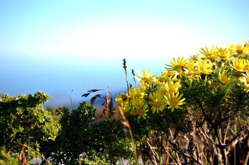 Flores selvagens na montanha da tabela, ?frica do Sul, Cape Town fotos de stock