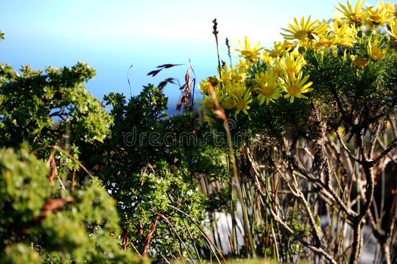 Flores selvagens na montanha da tabela, ?frica do Sul, Cape Town foto de stock