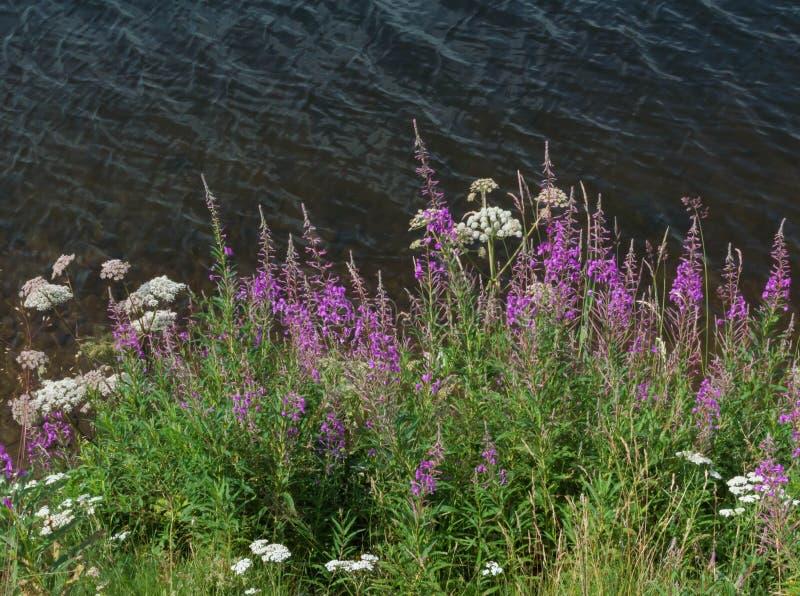 Flores selvagens no lago fotografia de stock