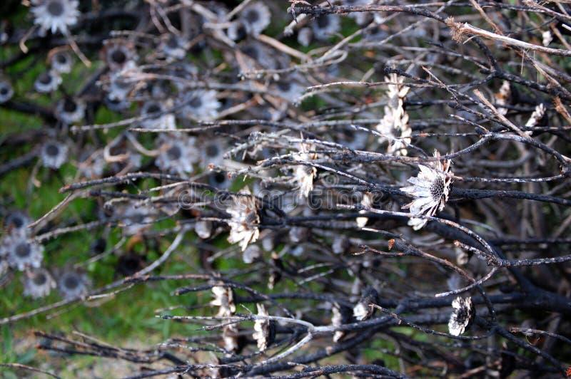 Flores selvagens no parque da montanha da tabela em África do Sul imagem de stock