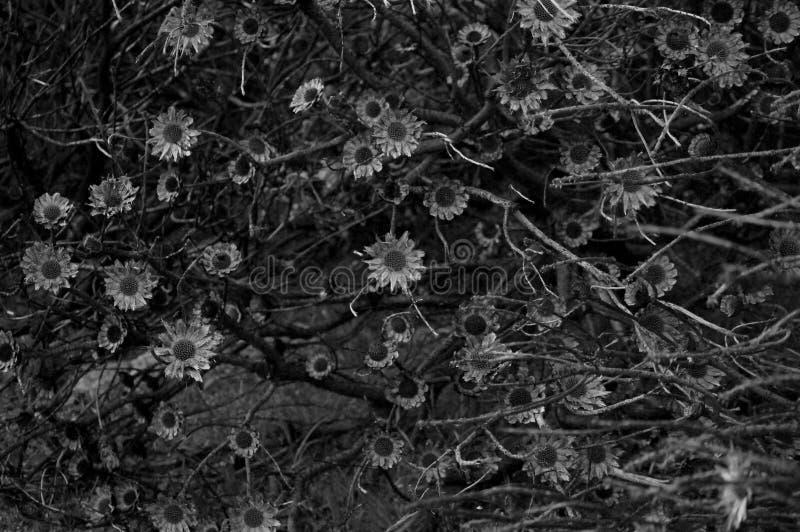 Flores selvagens no parque da montanha da tabela em África do Sul, preto e branco foto de stock