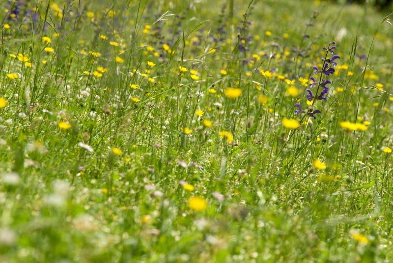 Flores selvagens no prado fotografia de stock royalty free