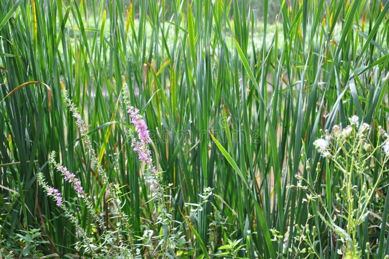 Flores selvagens Ontário do parque de RBG Hendrie foto de stock