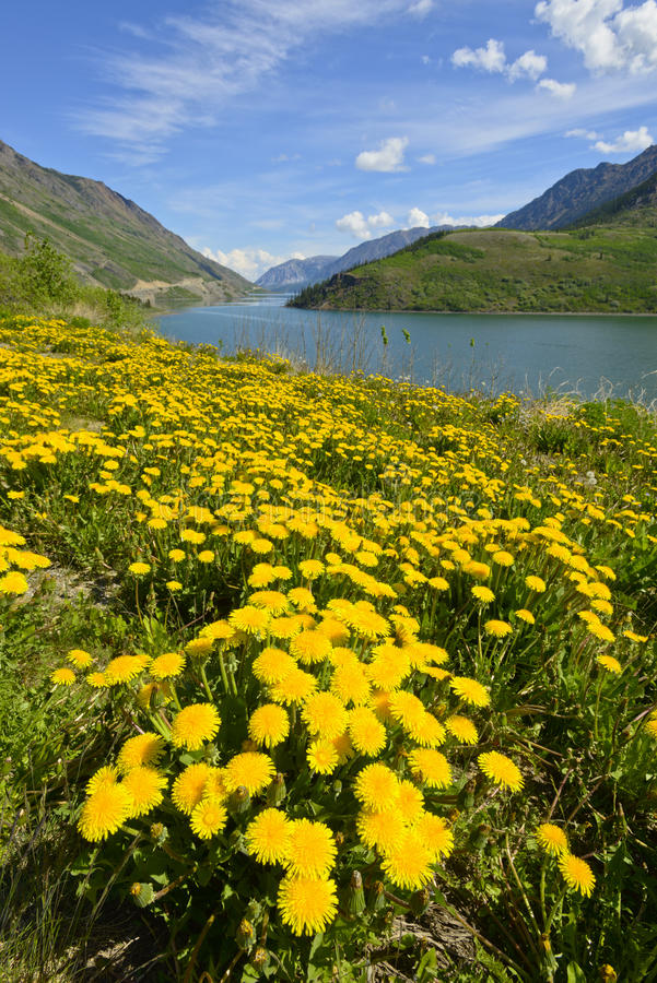 Flores selvagens perto do lago Tutshi imagem de stock royalty free