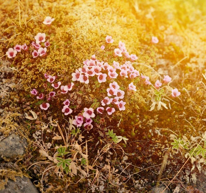 Flores selvagens que florescem na tundra islandêsa foto de stock royalty free