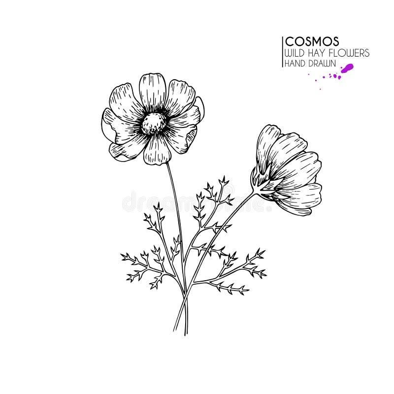 Flores selvagens tiradas mão do feno Cosmos ou flor do cosmea Arte gravada vintage Ilustração botânica Bom para cosméticos, medic ilustração stock