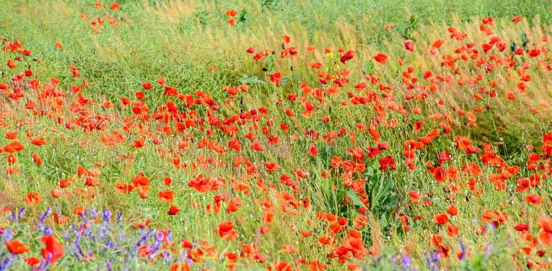 Flores selvagens vermelhas de rhoeas do Papaver & de x28; papoila de milho, rosa do milho, campo imagem de stock